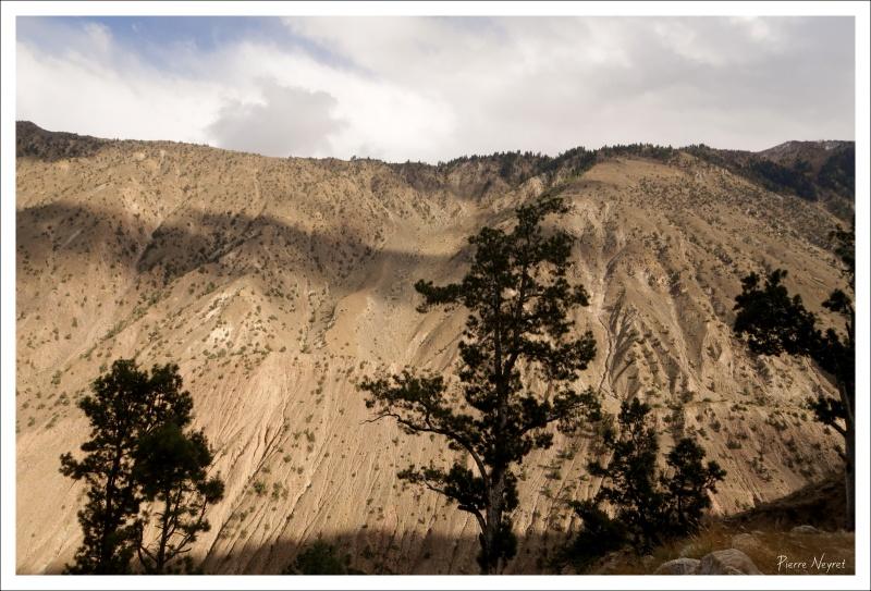 Pins himalayens sur les versants du Nanga Parbat
