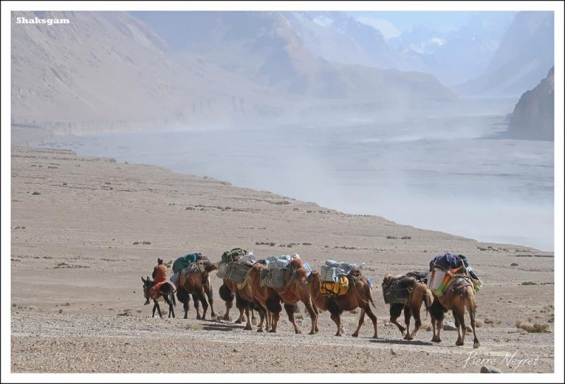 Les chameaux de Bactriane