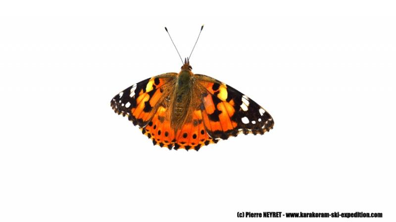 Papillon échoué