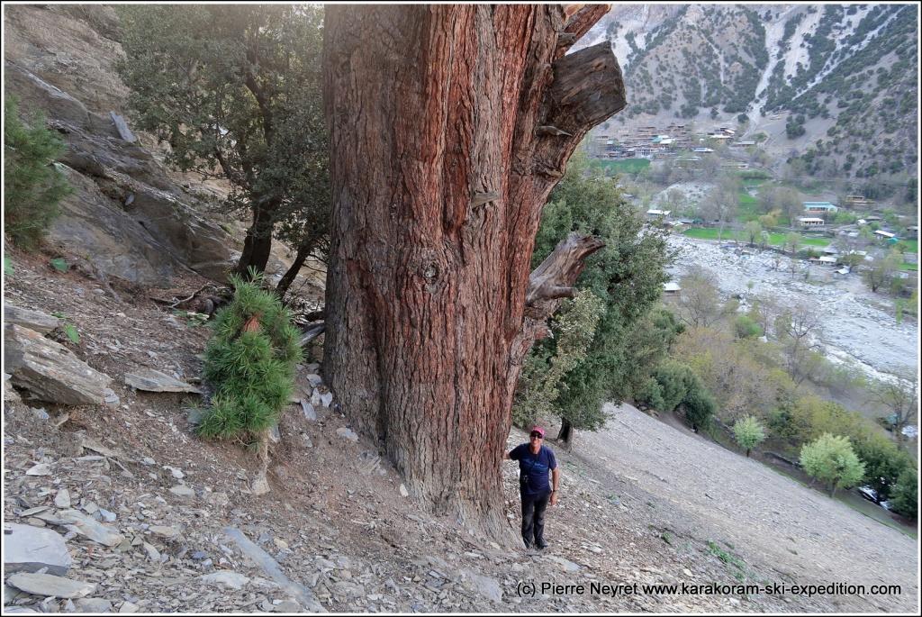 Grand cedre dans les vallees kalash