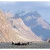 Troupeau de yaks menes en paturage dans les moraines du Gasherbrum