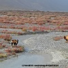 Les chameaux en paturage (des tamaris) à Sughet Jangal