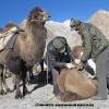 Les chameaux portent jusqu à 80 kg