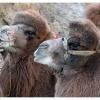 Ils sont beaux ces chameaux