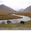 Les yaks paturent les grandes tourbières sous le Shandur pass 3800 m