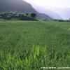 Champs de blé à Tarshing