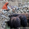 Travaux de la ferme a Chikar