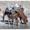 Le repos du chameau