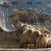 Kashgar, elevage de chameaux pour leur lait