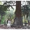 Cedre millenaire dans le cimetiere de la vallee kalash de Bumburet