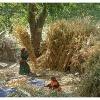Moisson du mais dans la vallee kalash de Bumburet